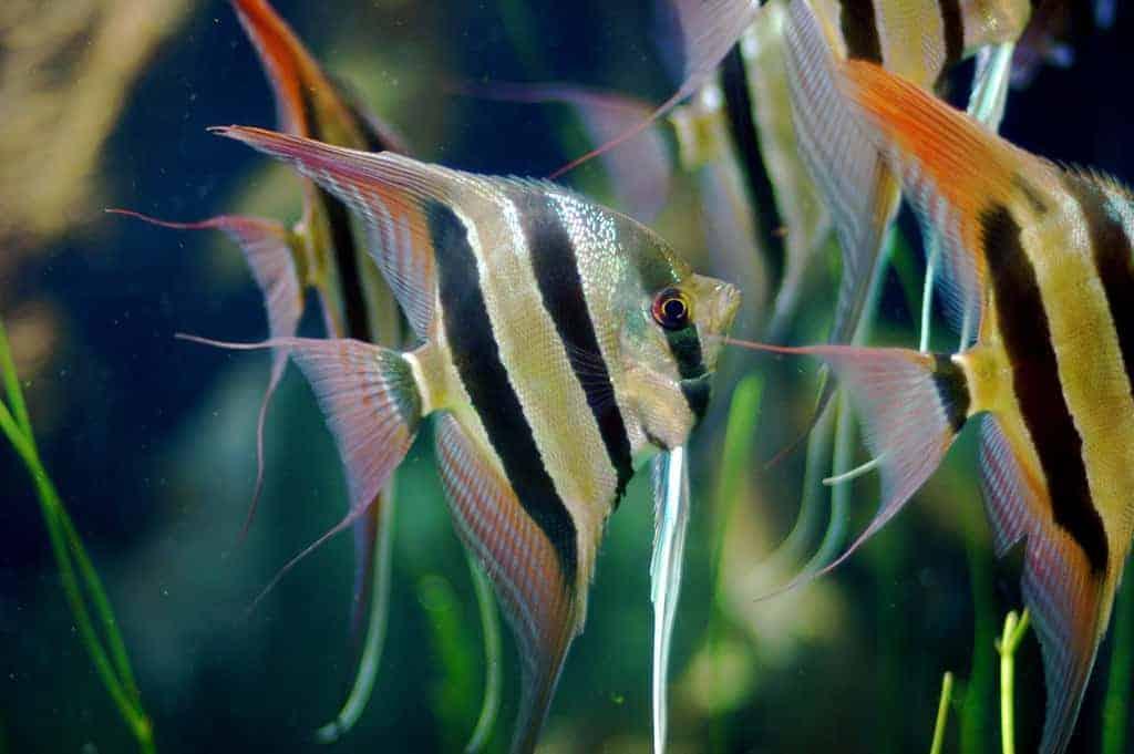 angel-fish-freshwater