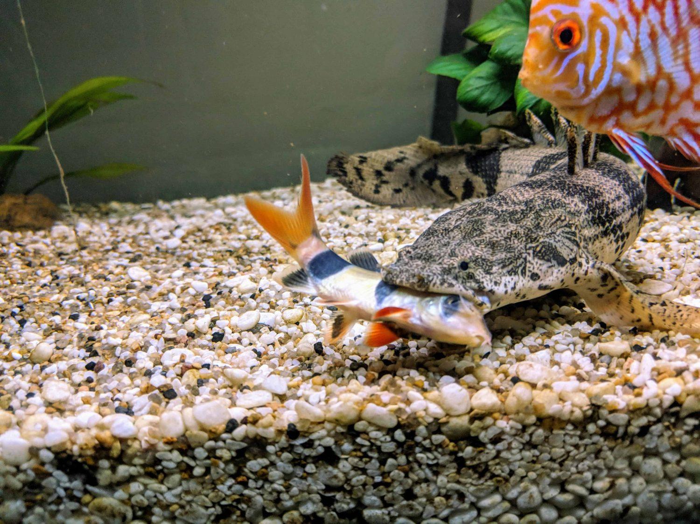 bichir-tank-mates