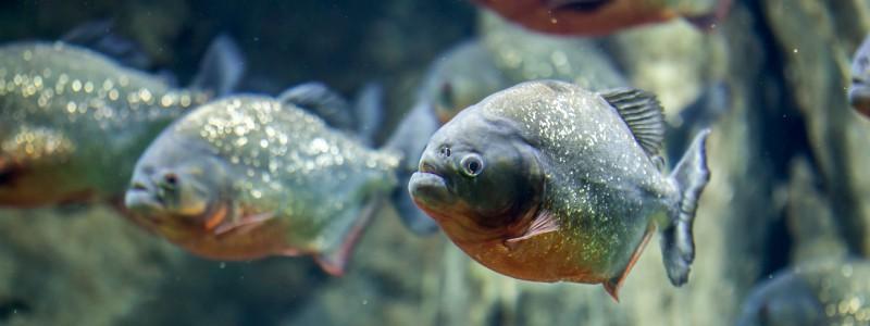 piranha-care