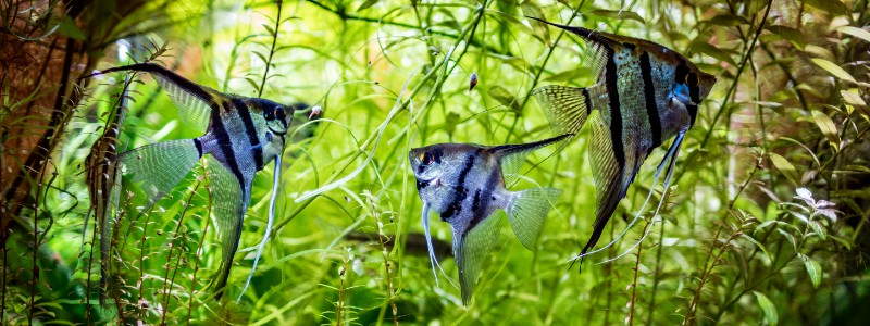 angelfish-care