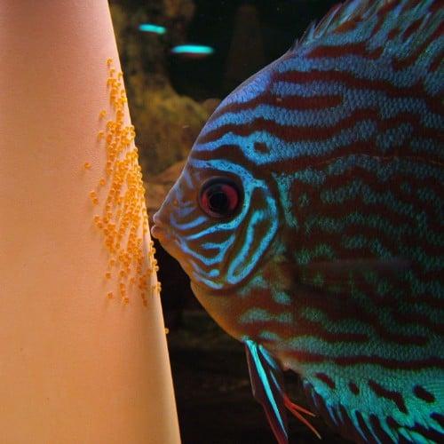 discus-fish-breeding