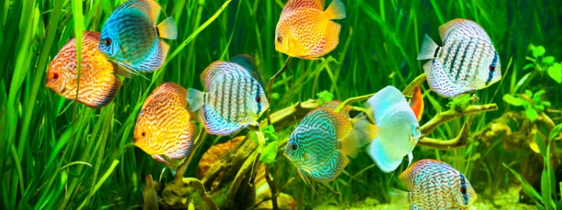 discus-fish-care