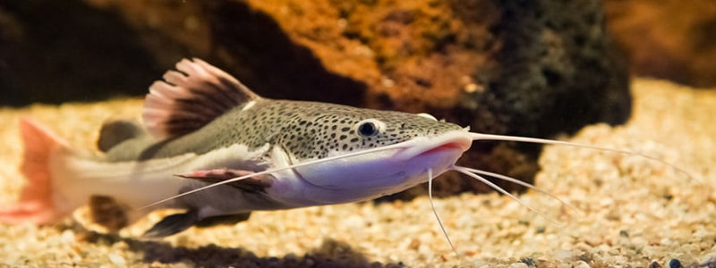 red-tail-catfish-care