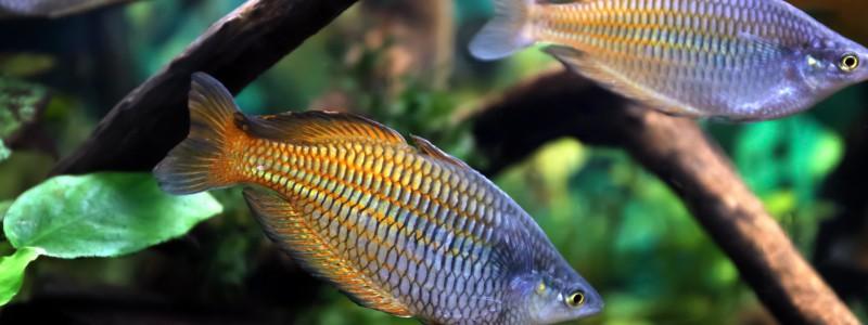 rainbow-fish-care