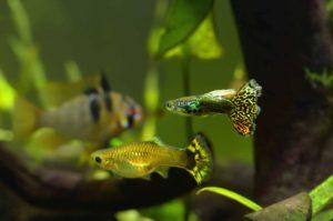 guppy-tank-mates