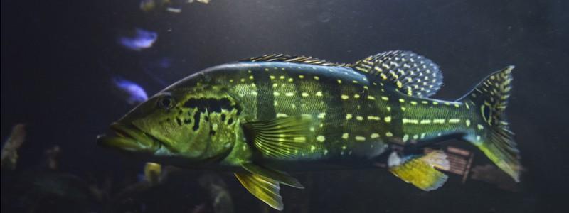 peacock-bass-care
