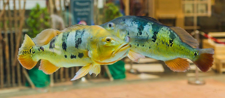 peacock-bass-tank-mates