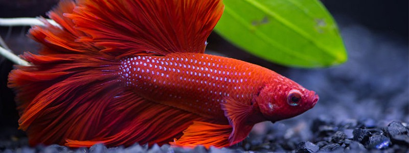 how-long-can-a-betta-fish-live