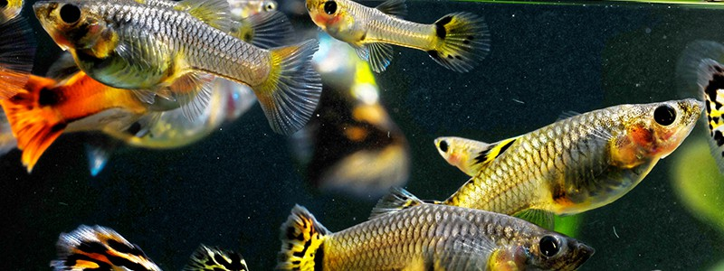 how-to-tell-if-a-guppy-is-male-or-female