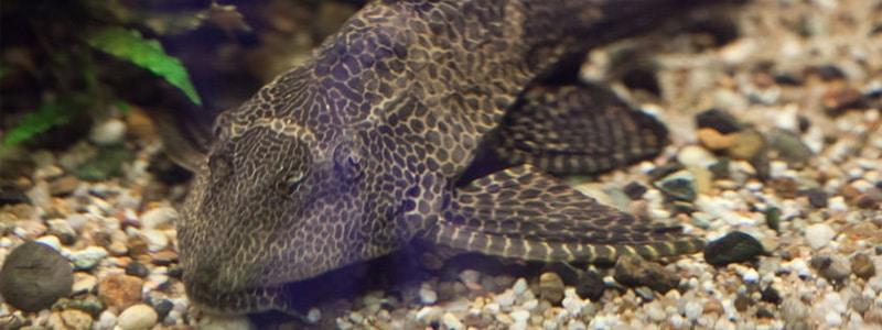 pleco-fish-care