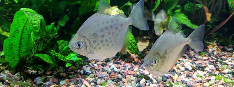 silver-dollar-fish-care