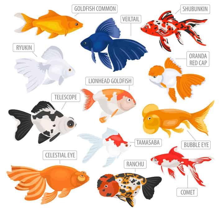 types-of-goldfish