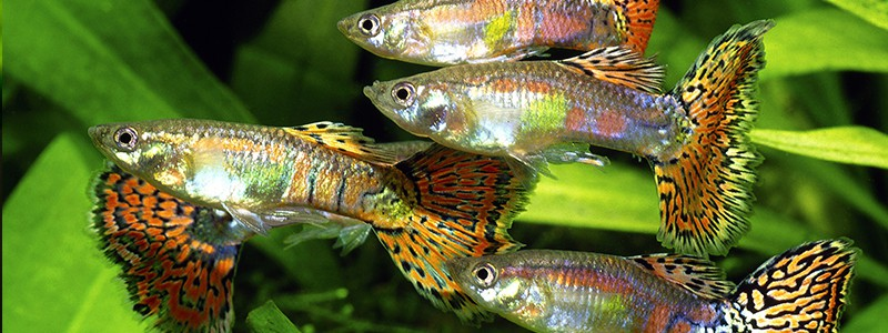 are-guppies-schooling-fish