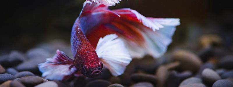 do-betta-fish-sleep