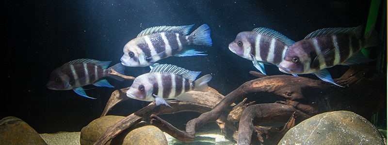 frontosa-fish-care