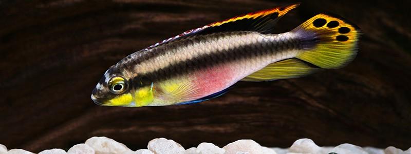 kribensis-cichlid