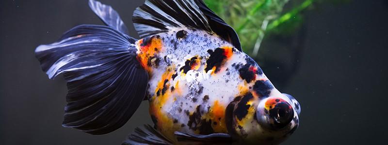 why-do-goldfish-turn-black
