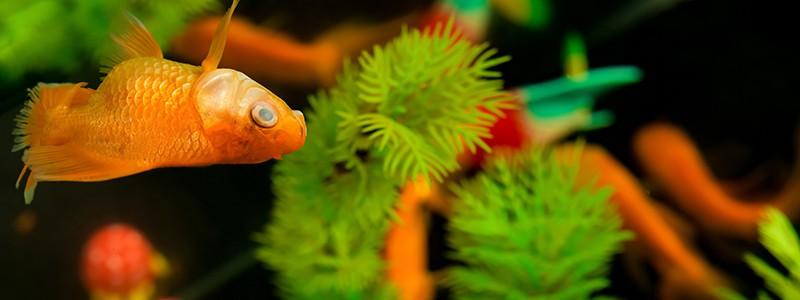 why-is-my-goldfish-swimming-sideways