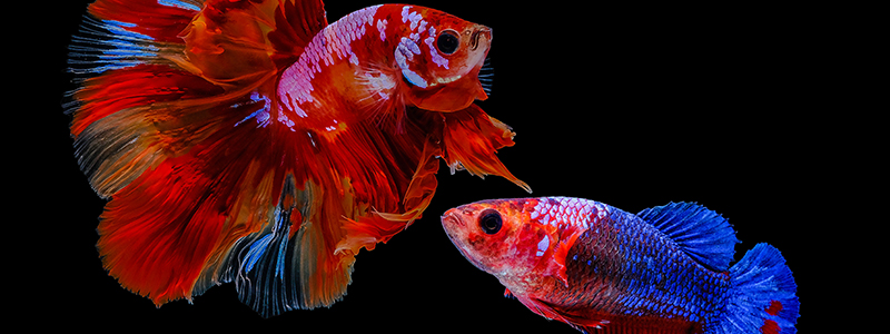 can-a-male-and-female-betta-fish-live-together-