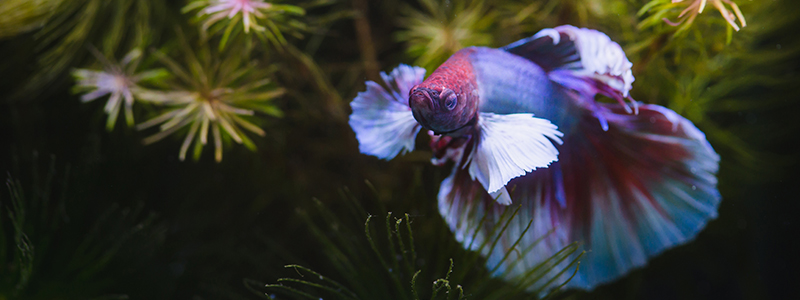 where-do-betta-fish-live-in-the-wild