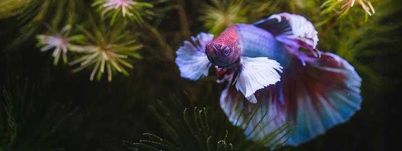 where-do-betta-fish-live-in-the-wild