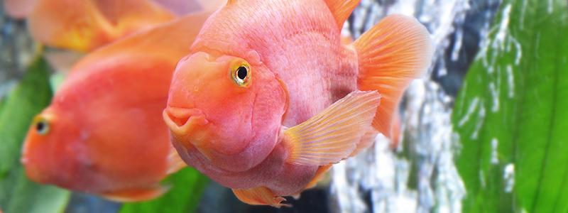 blood-parrot-fish-care