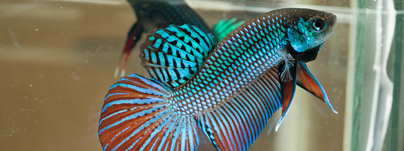 can-betta-fish-eat-goldfish-food