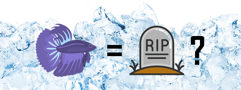 can-cold-water-kill-a-betta-fish-