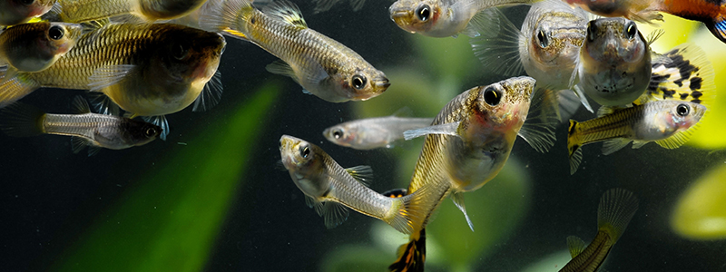 can-guppies-survive-in-an-outdoor-pond