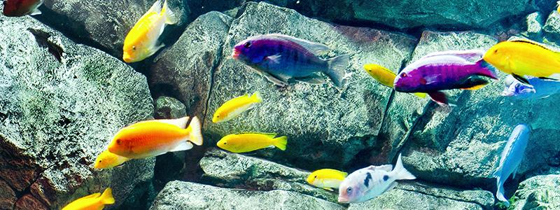 why-do-cichlids-change-color