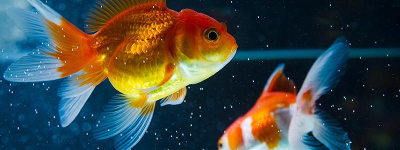 how-big-do-goldfish-get