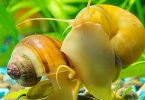 how-fast-do-aquarium-snails-reproduce