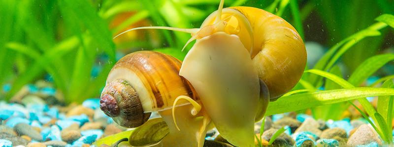 how-fast-do-aquarium-snails-reproduce